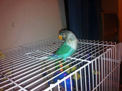 black mask love bird & breeding cage with nest box