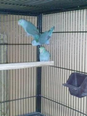 Blue and turquoise face parrotlets