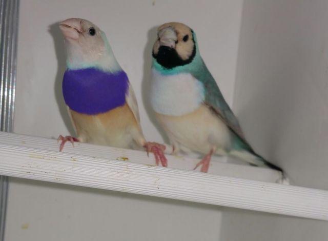 Blue backs, Silver back Gouldians
