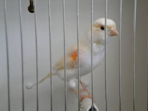 Blue Canary (Female) *1 LEFT