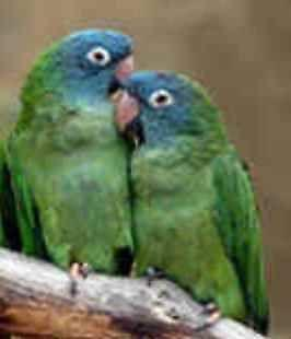 BLUE CROWN CONURE ~ Hand Fed ~