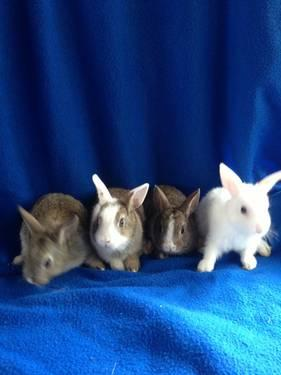 Blue eyed Netherland dwarf mix bunnies