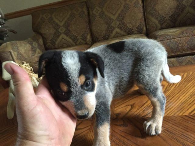Blue Heelers For Sale : Blue heeler puppies. 8 weeks old for sale in doss missouri