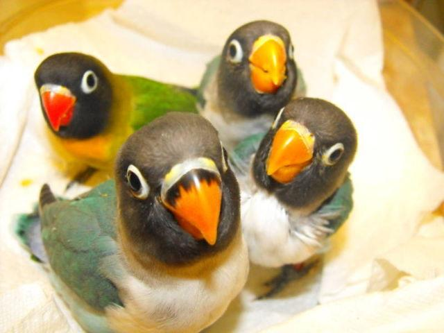 blue masked lovebirds