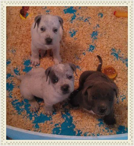 Blue Nose Bully Pitbull Puppies For Sale In Fontana California