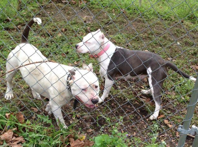 Blue Pitbull Puppies For Sale For Sale In Colonial Heights Virginia