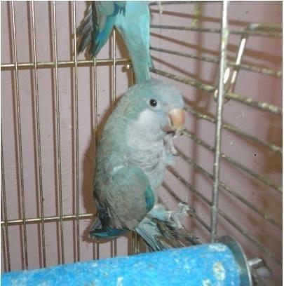 BLUE QUAKER, Male, Not Tame