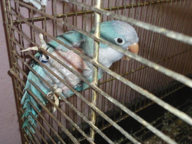 BLUE QUAKER, Proven Male Breeder