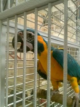BLUE THROATED MACAWS.