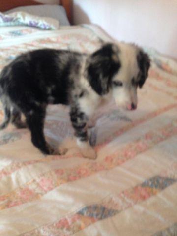 Bordoodle female puppy for sale in Allensburg, Ohio
