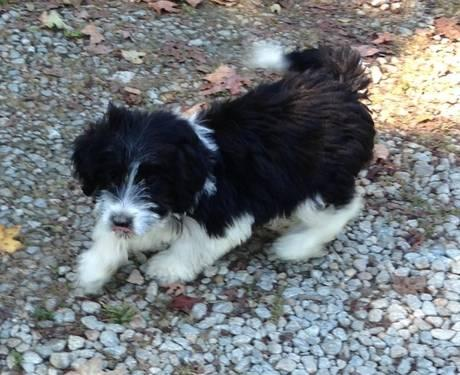 Bordoodle puppies for sale in Allensburg, Ohio - Animals nStuff