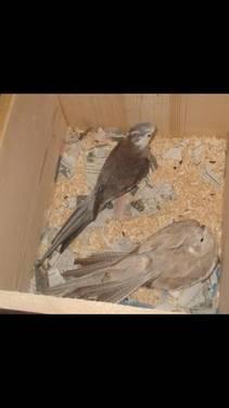 breeding pair of cockatiels