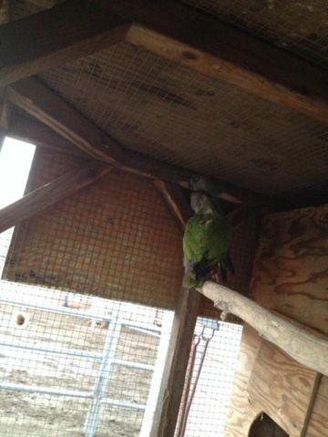 Breeding Senegal parrots