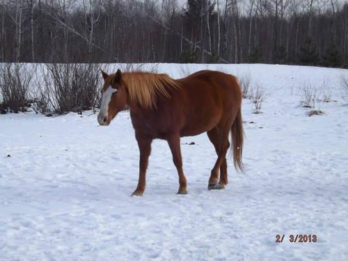 broke horses for sale