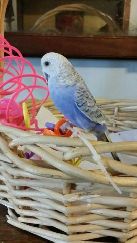 budgie also known as parakeets