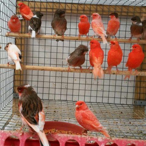 Canaries For Sale Or Trade// Canarios de venta o Intercambio