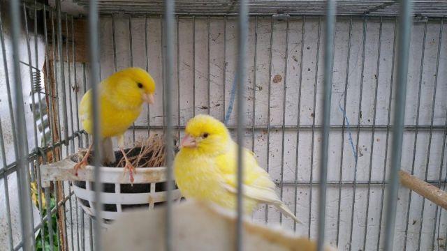 Canary breeding pair