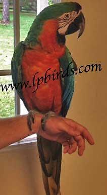 Catalina Macaw female