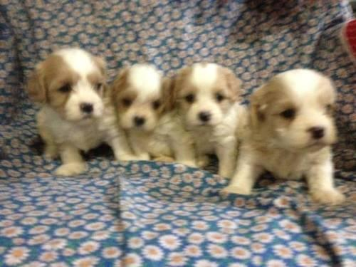Cavachon Puppies READY SOON! Cavalier King Charles/Bichon