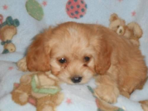 Cavapoo Puppies READY TO GO! Cavalier King Charles/Poodle