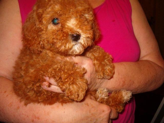CavaPoo Puppies for sale in Johnson, New York - Animals nStuff