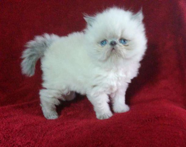 CFA Blue Point Himalayan Kitten for sale in Phoenix, Arizona