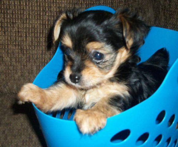 CHORKIE PUPPIES for sale in Tulsa, Oklahoma - Animals nStuff