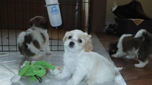 Chusky Puppy For Sale In Killeen Texas Animals Nstuff