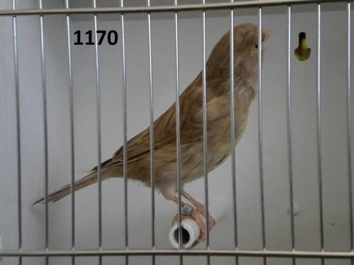 Cinnamon Canaries