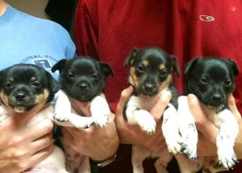 CKC Rat Terrier Puppies For Sale for sale in Griffin