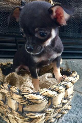 CKC Teacup Chihuahua Puppy for sale in Greenwood, South
