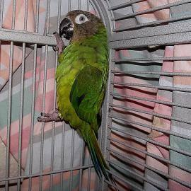 Conure - Beaker & Godel - Small - Young - Female - Bird