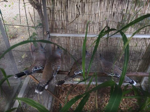 Curl Crested Aracari