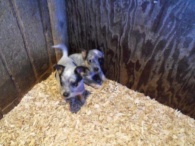 Blue Heelers For Sale : Cute little blue heeler puppy for sale in centralia washington