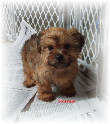 Cute Puppies!!! Yorkie-poo's & Maltipoo's!! for sale in