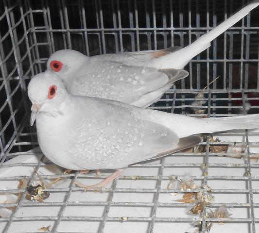 diamond doves and white doves
