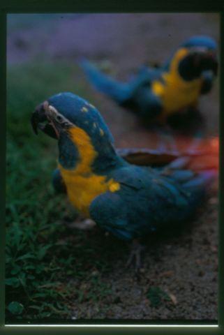 DNA FEMALE BLUE THROAT MACAW (Located in Oregon)