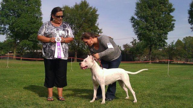 Dogo Argentino puppies for sale in Upland, California - Animals nStuff