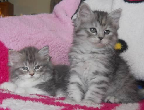 Dollface Teacup Persian Kittens for sale in Glendale