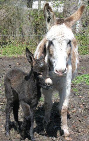 Donkey Jack Foal
