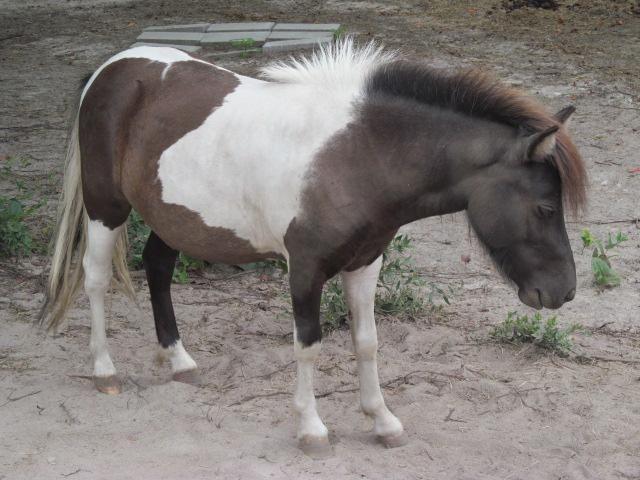 Donkey - Slim - Large - Adult - Male - Horse