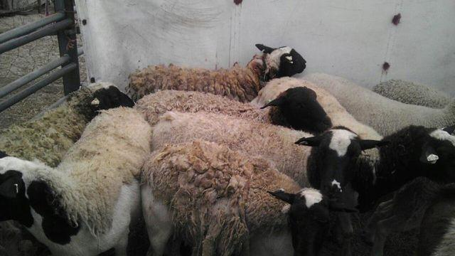 DORPER SHEEP LAMB EWES for sale in Deer Island, Florida