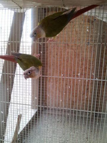 Dusky-headed conure pair