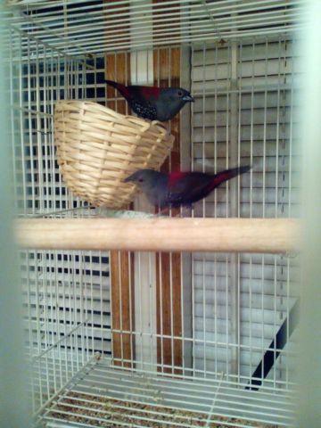 Dybowski Twinspot Finch- Birds