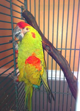 Eclectus Pair, Male and Female Bonded