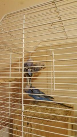 English budgies for sale in Jersey City, New Jersey - Animals nStuff