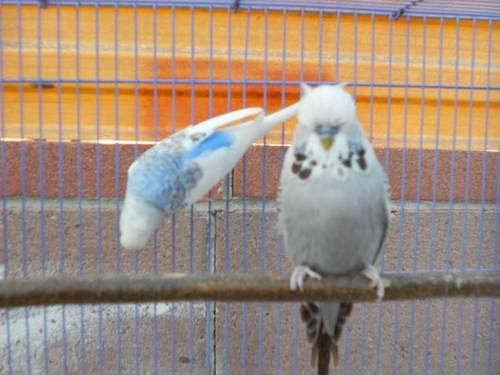 English Parakeet/Budgie
