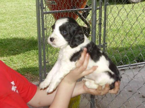 English Springer Spaniel Puppies for sale in Georgetown, South ...