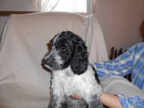 EXTREMELY CUTE SPRINGERDOODLE PUP AVAILABLE for sale in Kent, New