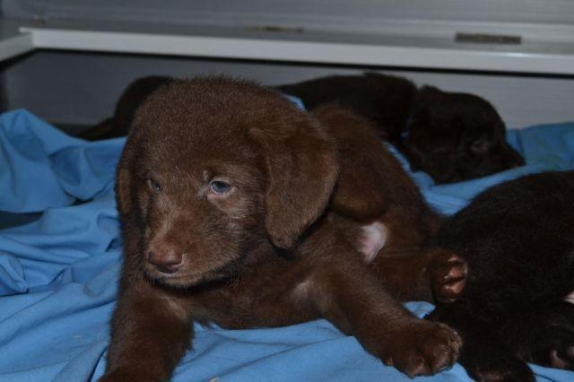 F1 Labradoodle Puppies Chocolate Raw Feed For Sale In